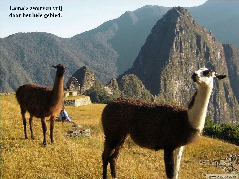 Lama`s zwerven vrij door het hele gebied.