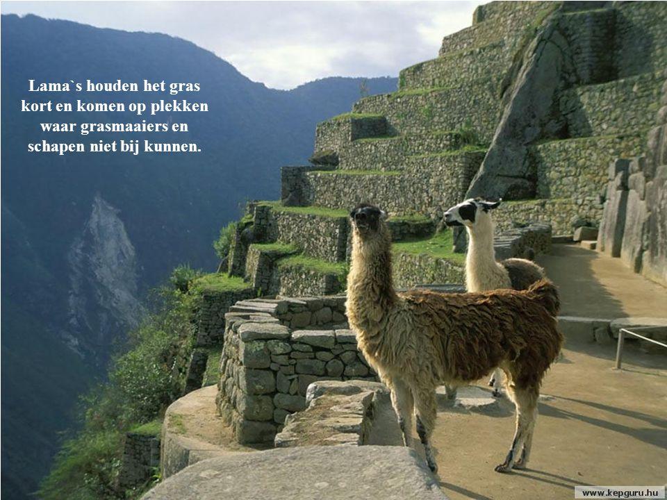 Lama`s houden het gras kort en komen op plekken waar grasmaaiers en schapen niet bij kunnen.