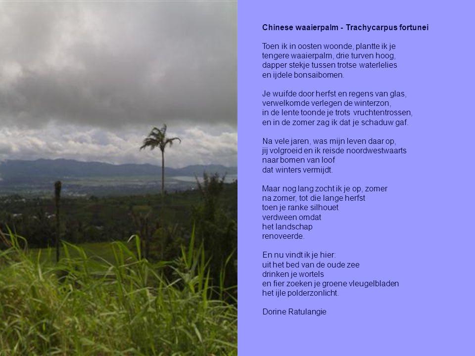 Chinese waaierpalm - Trachycarpus fortunei Toen ik in oosten woonde, plantte ik je tengere waaierpalm, drie turven hoog, dapper stekje tussen trotse waterlelies en ijdele bonsaibomen.