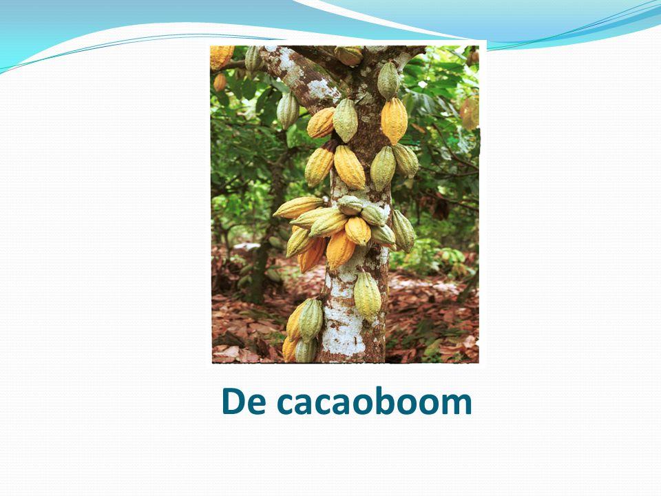 De cacaoboom