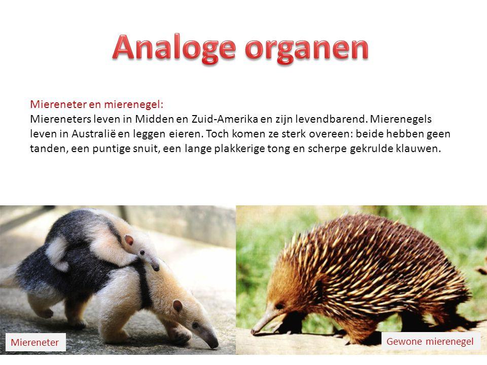 Analoge organen Miereneter en mierenegel: