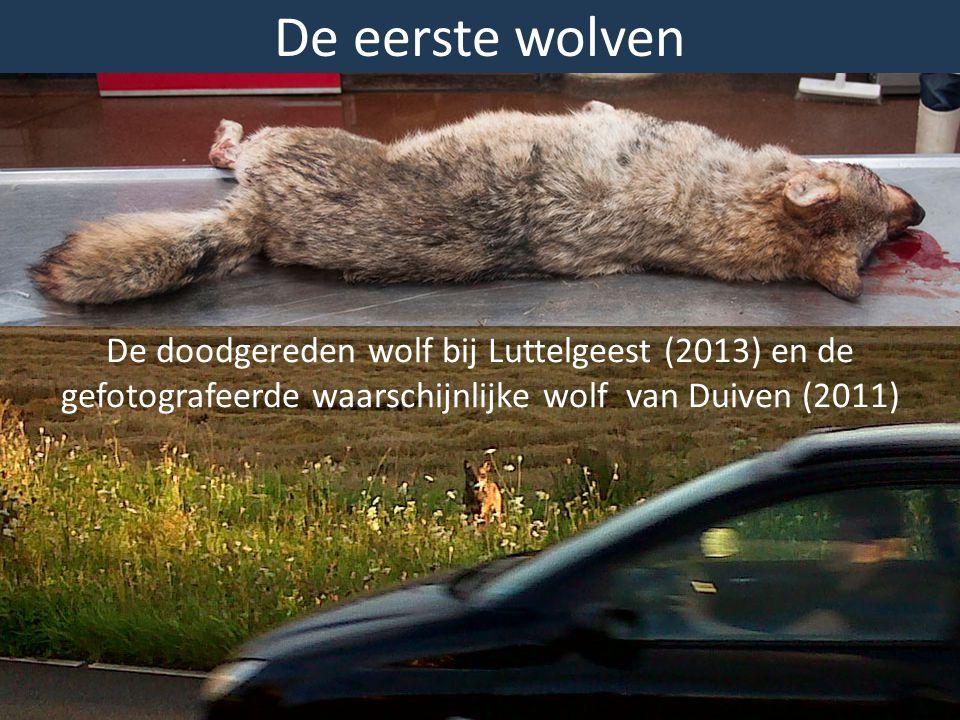 De eerste wolven De doodgereden wolf bij Luttelgeest (2013) en de gefotografeerde waarschijnlijke wolf van Duiven (2011)