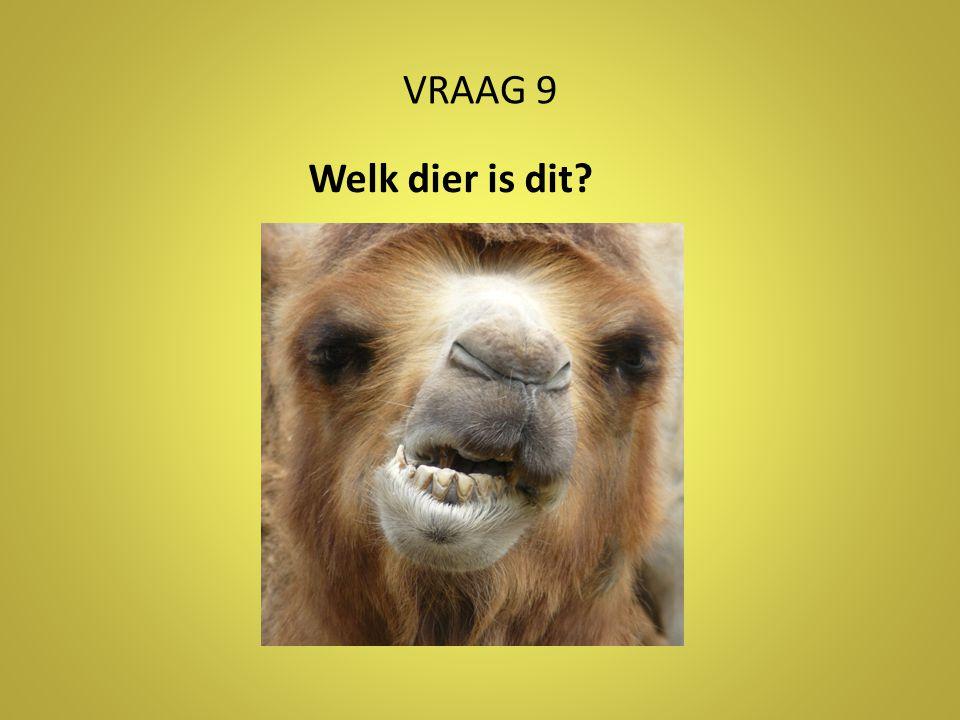 VRAAG 9 Welk dier is dit Antwoord: kameel/dromedaris