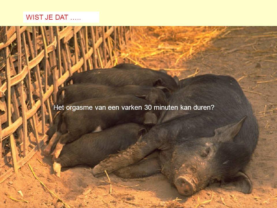Het orgasme van een varken 30 minuten kan duren