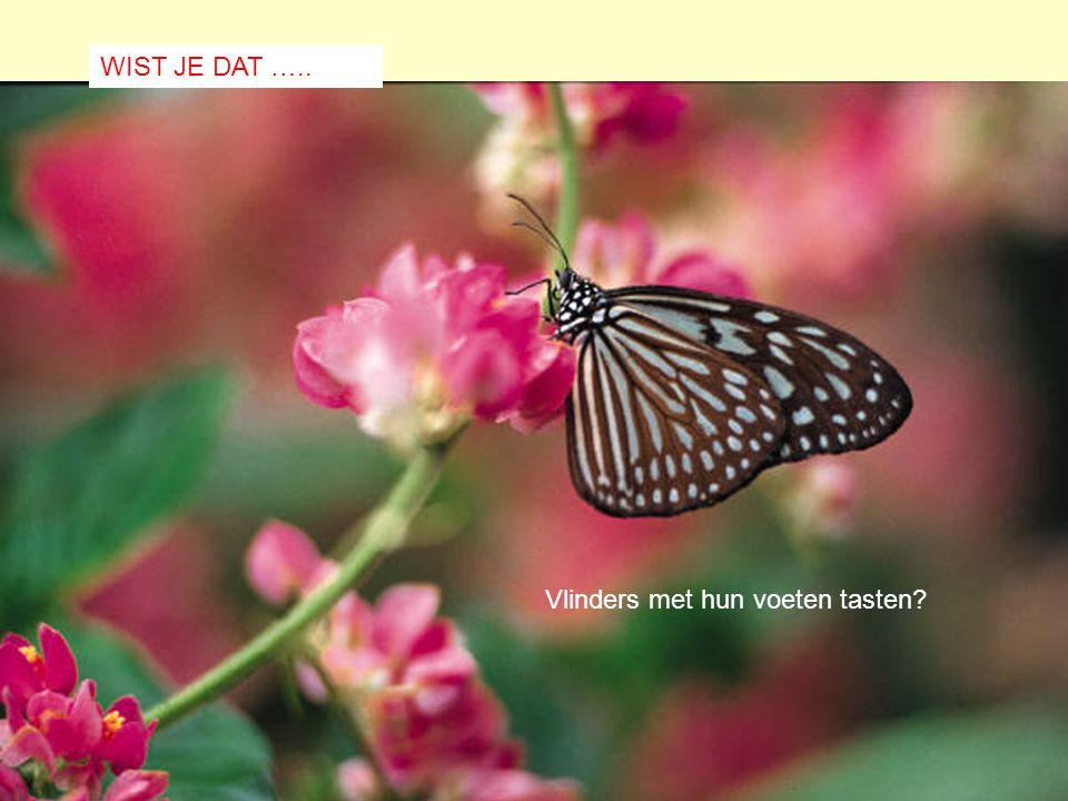 WIST JE DAT ….. Vlinders met hun voeten tasten