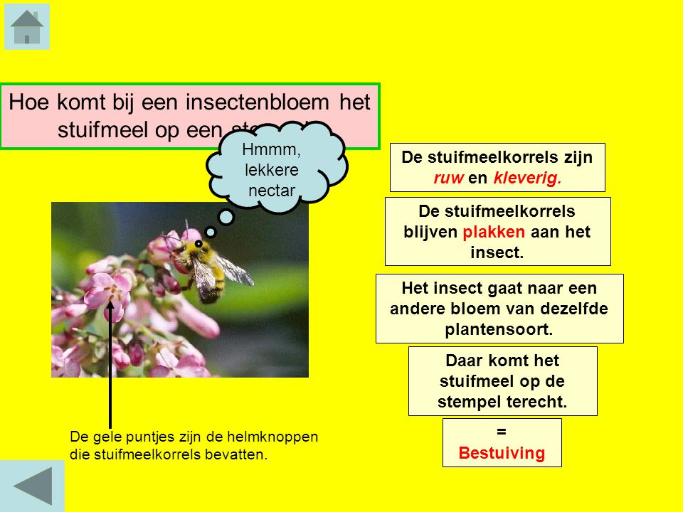 Hoe komt bij een insectenbloem het stuifmeel op een stempel