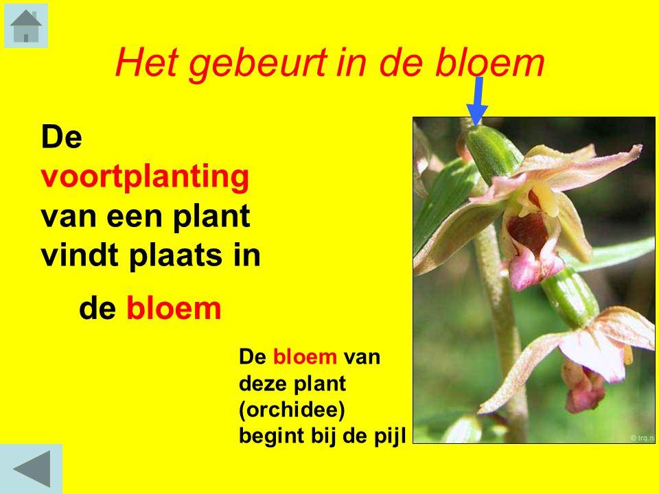 Het gebeurt in de bloem De voortplanting van een plant vindt plaats in