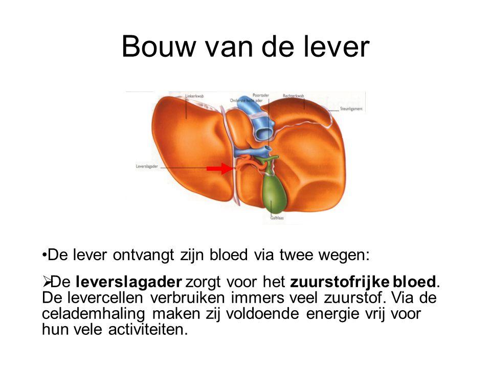 Bouw van de lever De lever ontvangt zijn bloed via twee wegen: