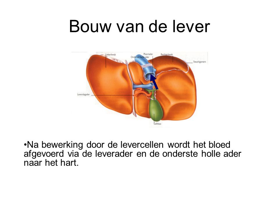 Bouw van de lever Na bewerking door de levercellen wordt het bloed afgevoerd via de leverader en de onderste holle ader naar het hart.