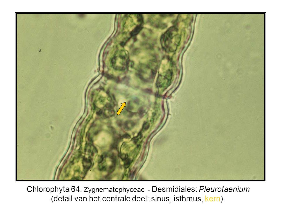 Chlorophyta 64.