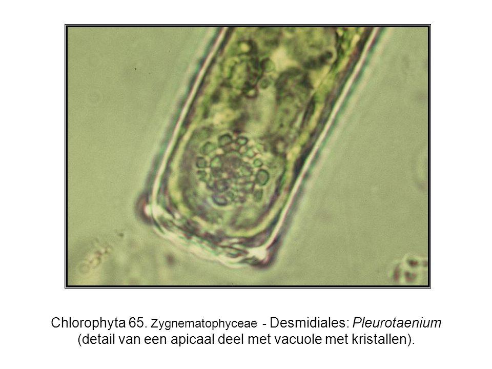 Chlorophyta 65.