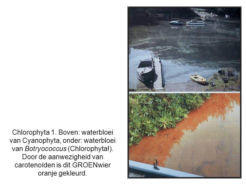 Chlorophyta 1. Boven: waterbloei van Cyanophyta, onder: waterbloei van Botryococcus (Chlorophyta!).