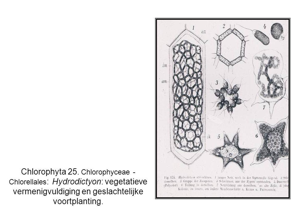Chlorophyta 25.