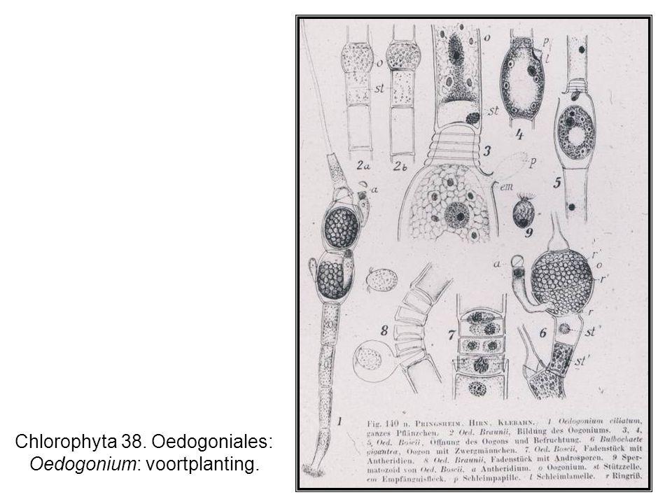 Chlorophyta 38. Oedogoniales: Oedogonium: voortplanting.