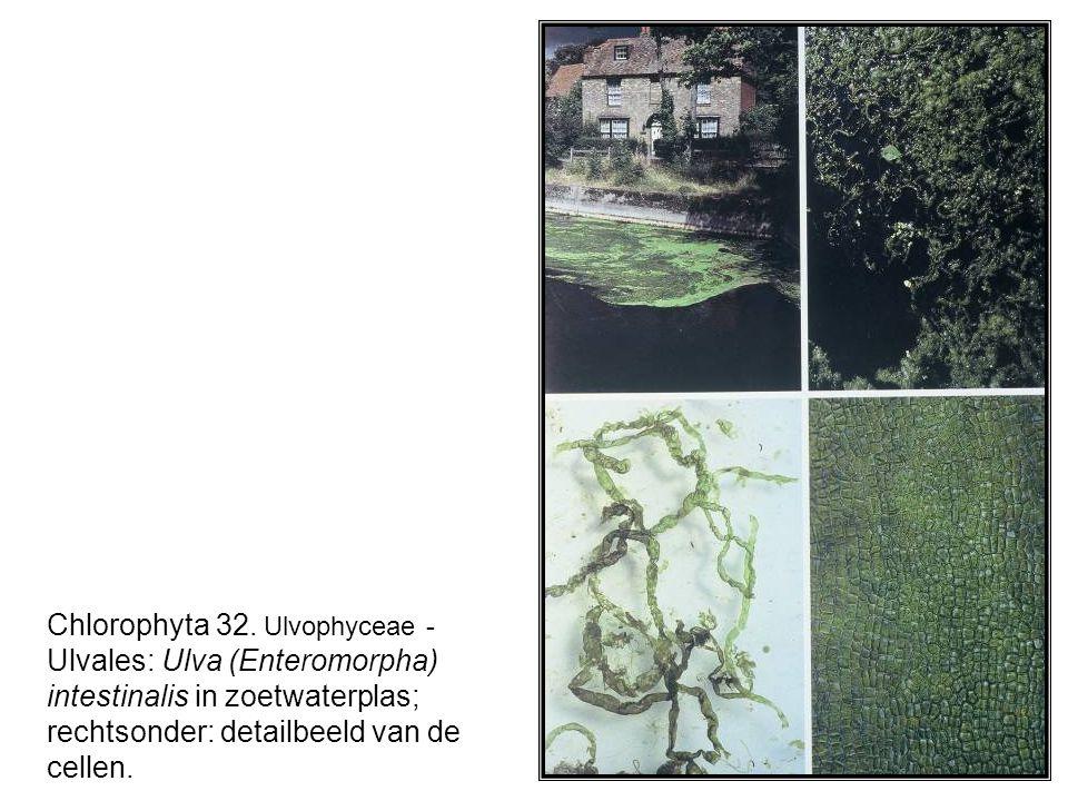 Chlorophyta 32.