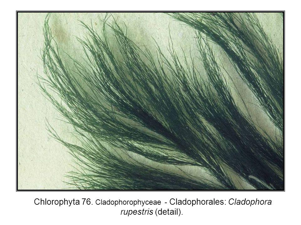 Chlorophyta 76. Cladophorophyceae - Cladophorales: Cladophora rupestris (detail).