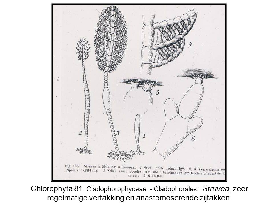 Chlorophyta 81.