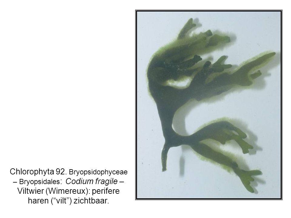 Chlorophyta 92.
