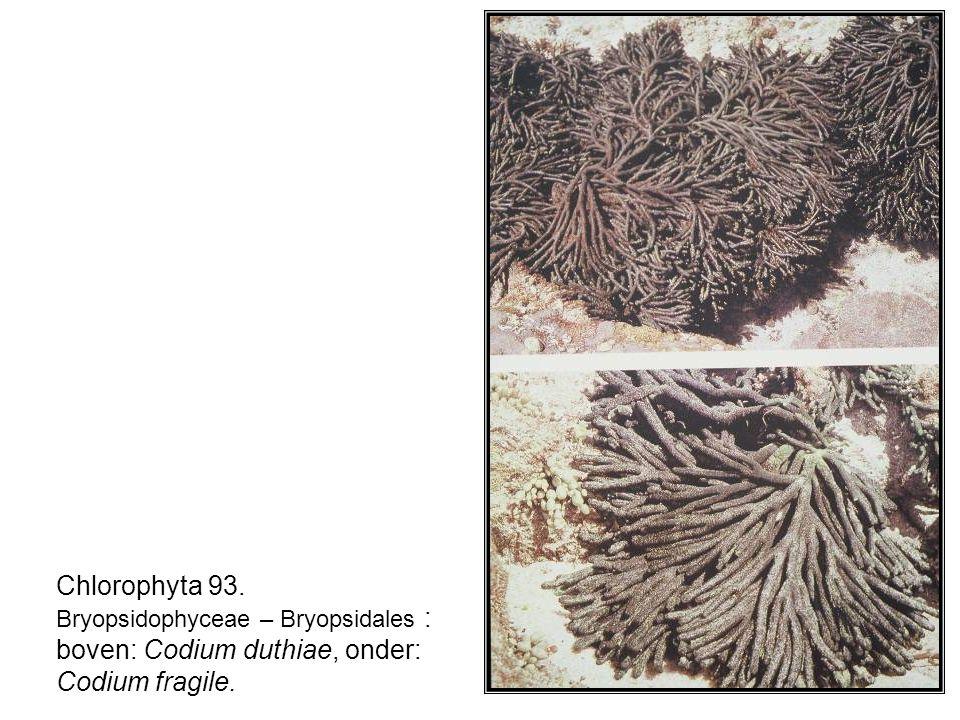 Chlorophyta 93. Bryopsidophyceae – Bryopsidales : boven: Codium duthiae, onder: Codium fragile.