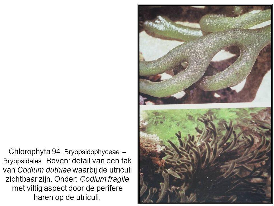 Chlorophyta 94. Bryopsidophyceae – Bryopsidales