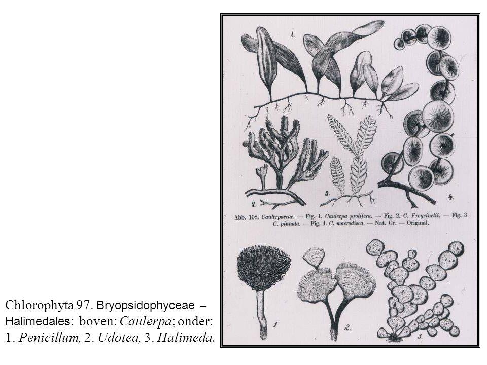 Chlorophyta 97. Bryopsidophyceae – Halimedales: boven: Caulerpa; onder: 1.