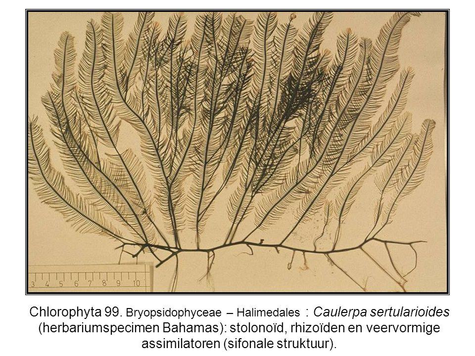 Chlorophyta 99.