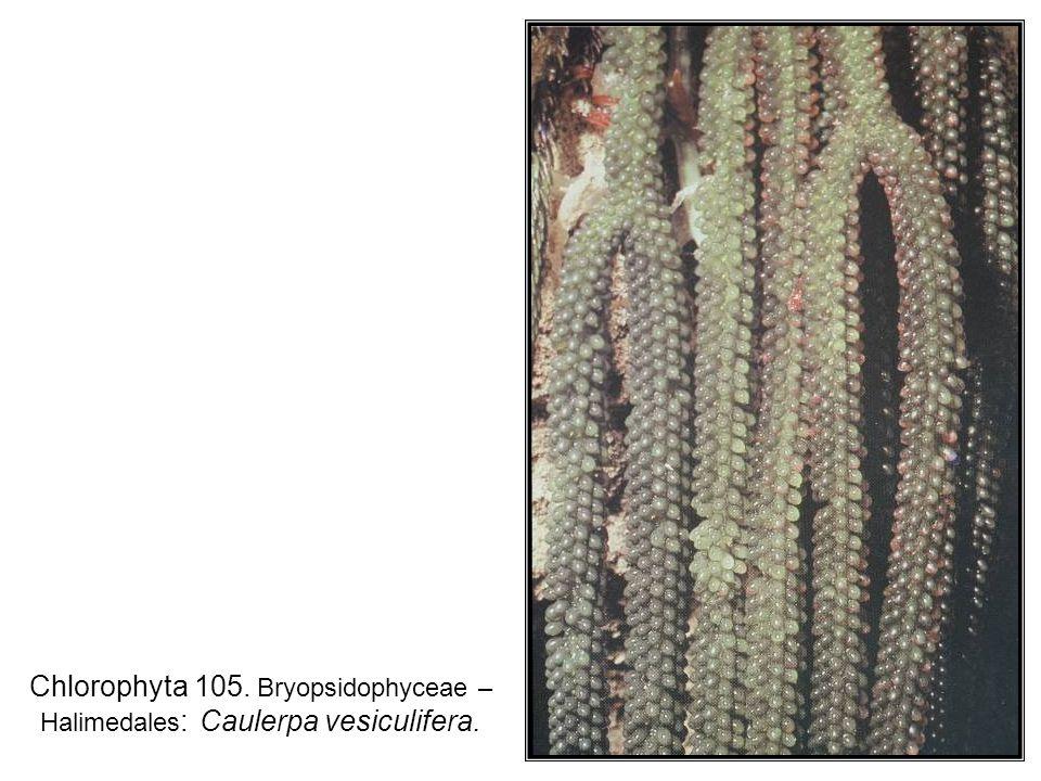 Chlorophyta 105. Bryopsidophyceae – Halimedales: Caulerpa vesiculifera.