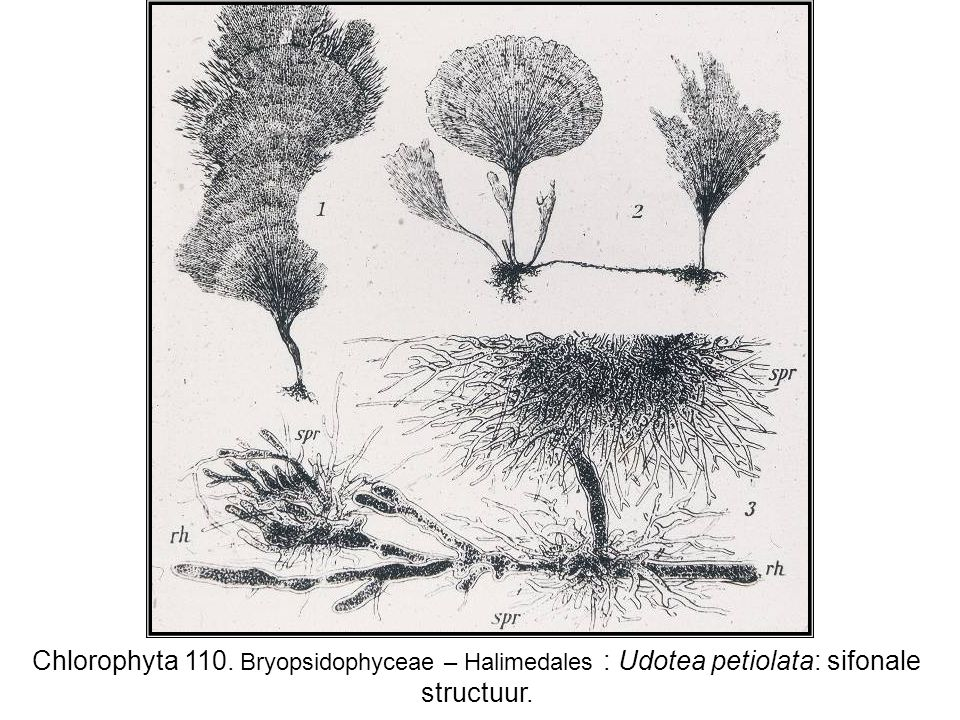 Chlorophyta 110. Bryopsidophyceae – Halimedales : Udotea petiolata: sifonale structuur.