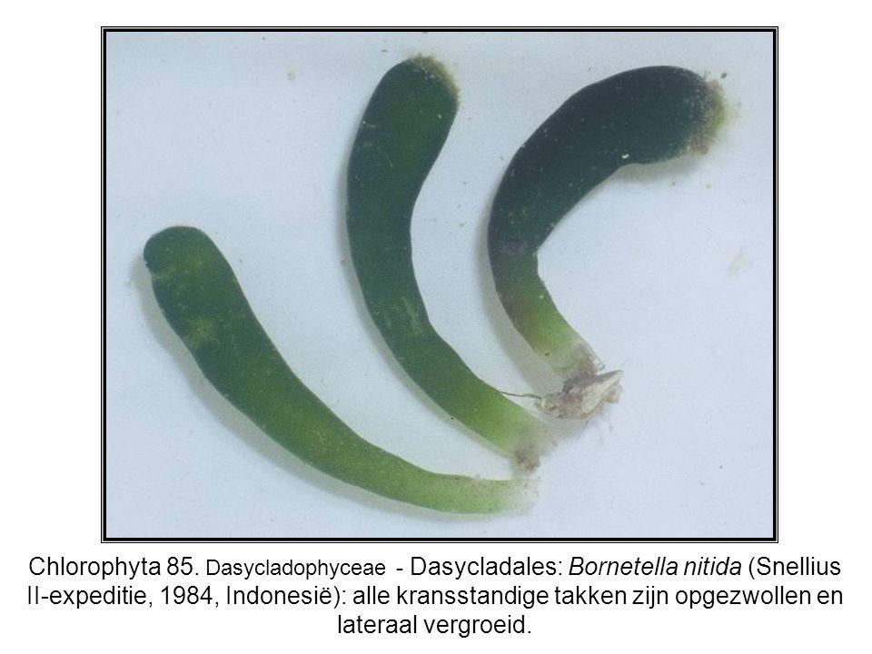 Chlorophyta 85.