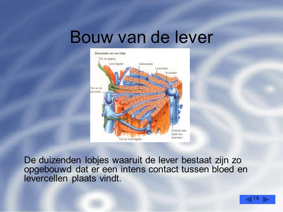 Bouw van de lever De duizenden lobjes waaruit de lever bestaat zijn zo opgebouwd dat er een intens contact tussen bloed en levercellen plaats vindt.