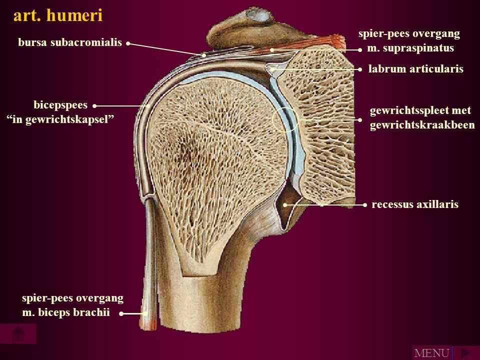art. humeri spier-pees overgang m. supraspinatus bursa subacromialis
