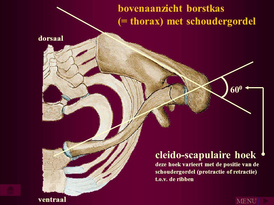 bovenaanzicht borstkas (= thorax) met schoudergordel