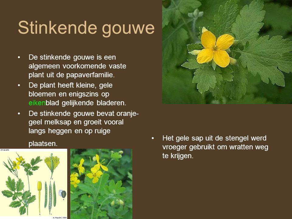 Stinkende gouwe De stinkende gouwe is een algemeen voorkomende vaste plant uit de papaverfamilie.
