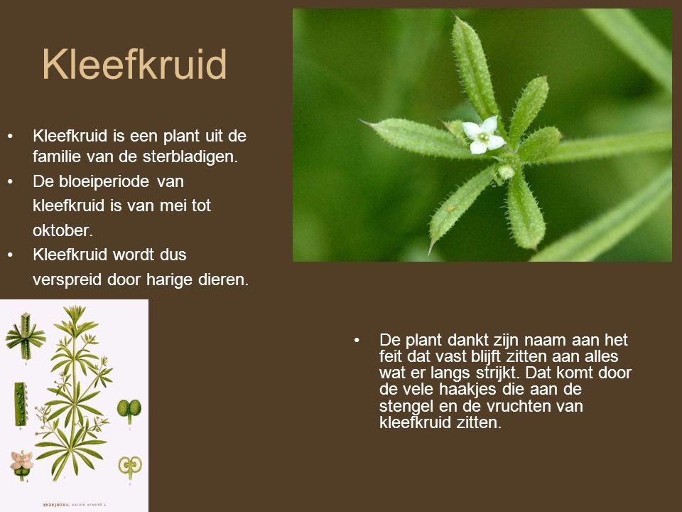 Kleefkruid Kleefkruid is een plant uit de familie van de sterbladigen.