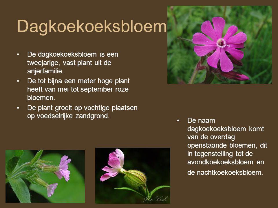 Dagkoekoeksbloem De dagkoekoeksbloem is een tweejarige, vast plant uit de anjerfamilie.