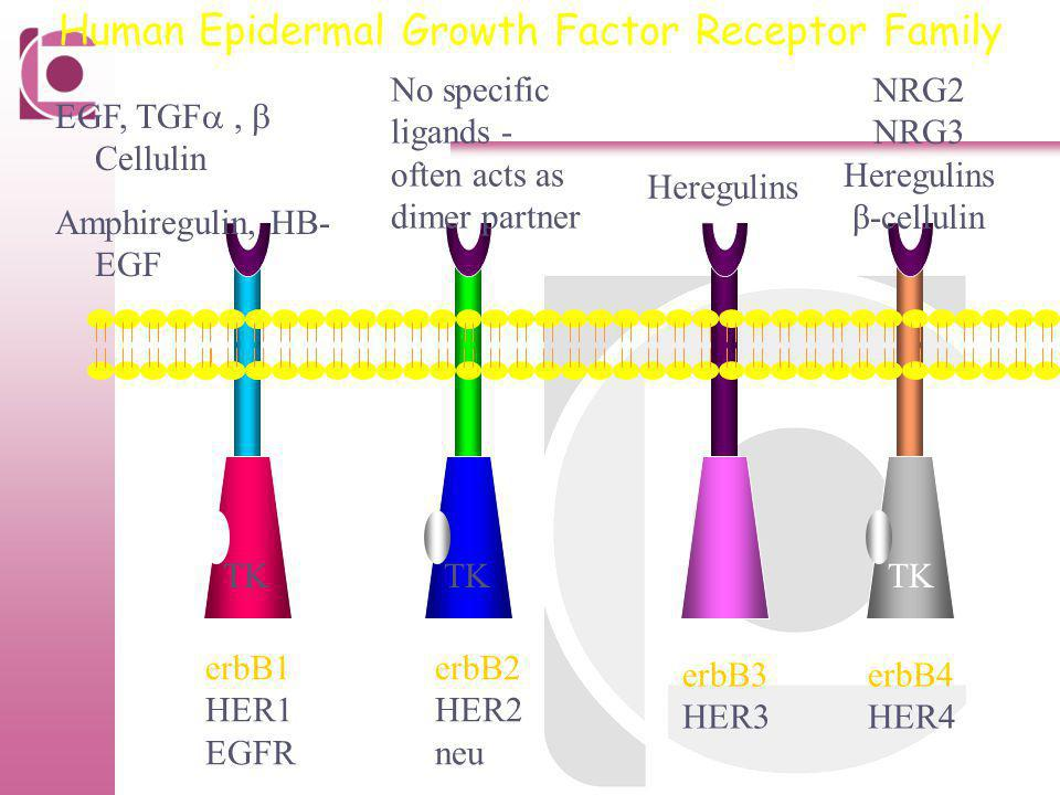 Human Epidermal Growth Factor Receptor Family