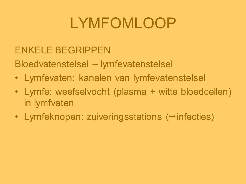 LYMFOMLOOP ENKELE BEGRIPPEN Bloedvatenstelsel – lymfevatenstelsel