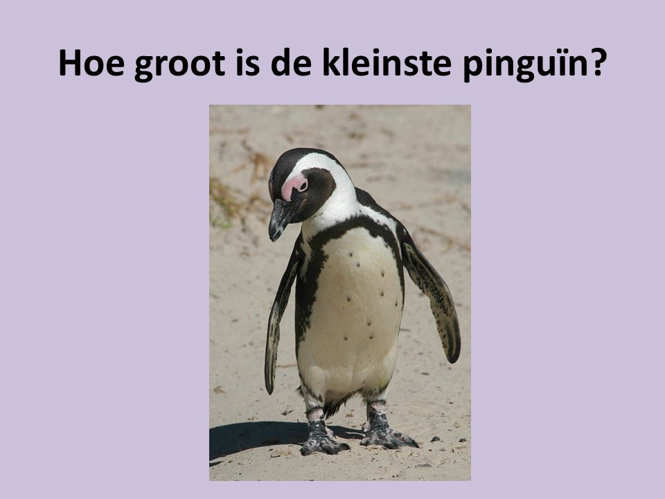 Hoe groot is de kleinste pinguïn
