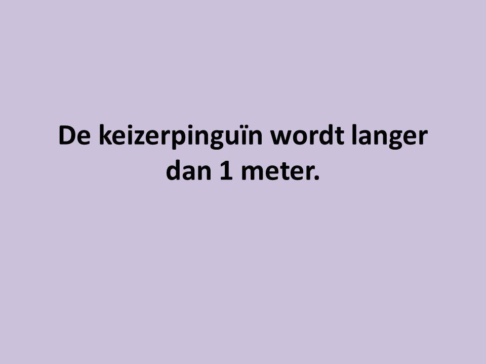 De keizerpinguïn wordt langer dan 1 meter.