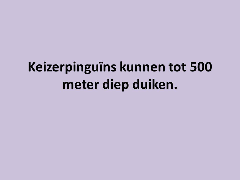 Keizerpinguïns kunnen tot 500 meter diep duiken.