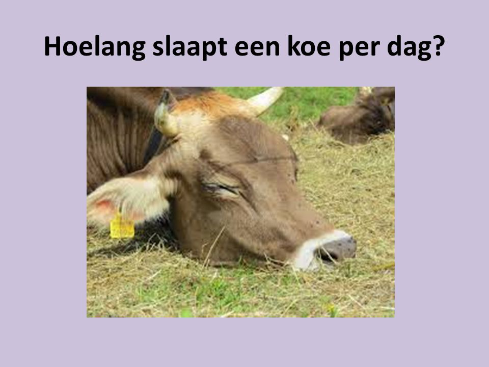 Hoelang slaapt een koe per dag
