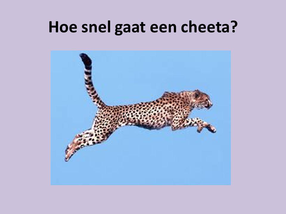 Hoe snel gaat een cheeta