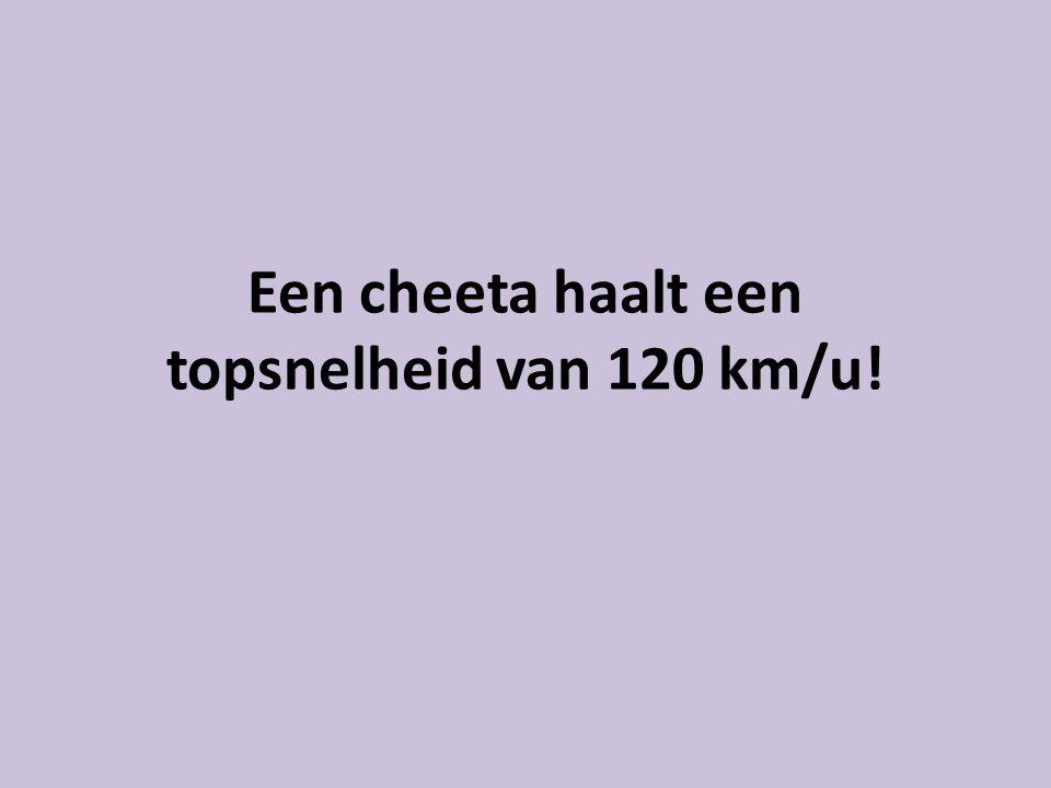 Een cheeta haalt een topsnelheid van 120 km/u!