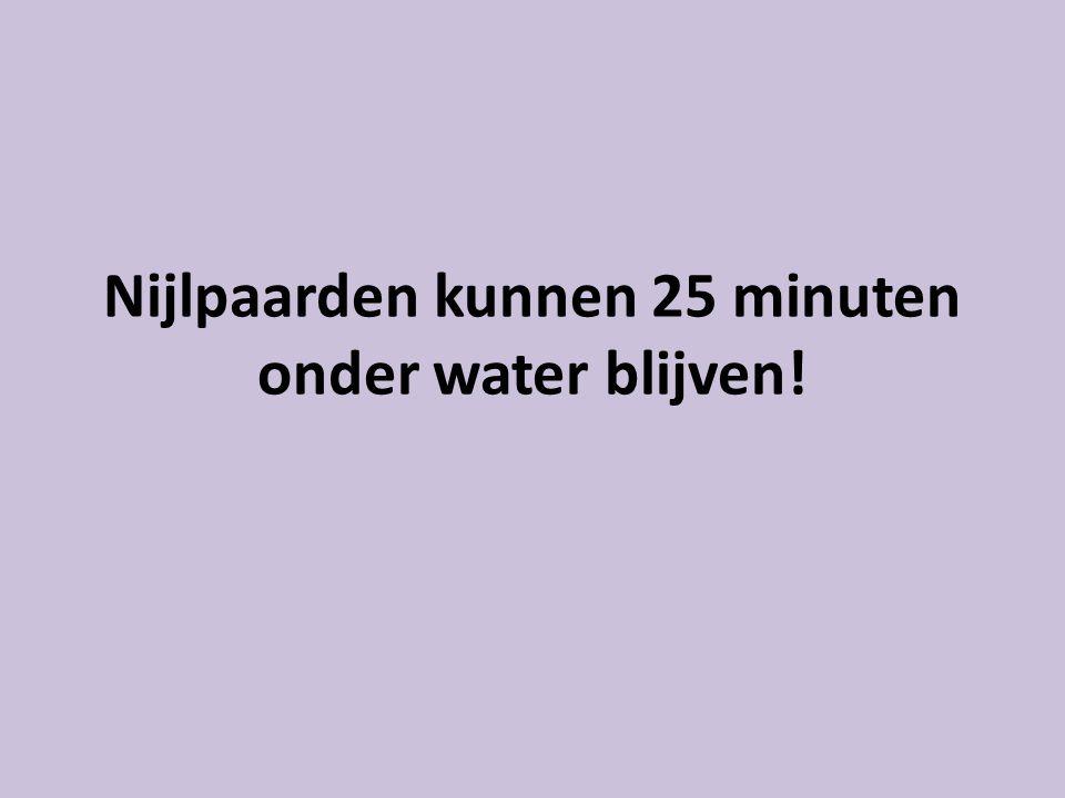Nijlpaarden kunnen 25 minuten onder water blijven!