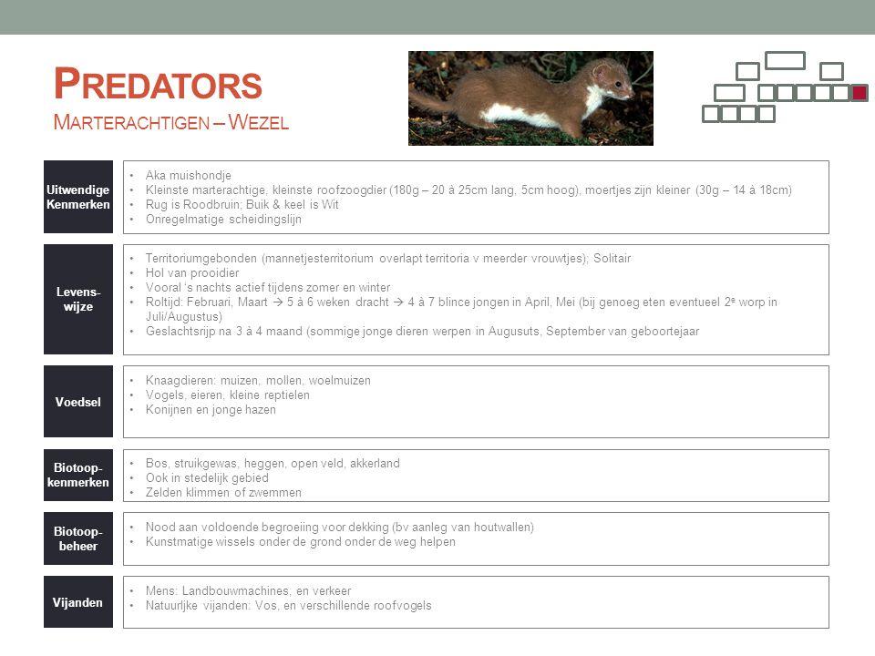 Predators Marterachtigen – Wezel