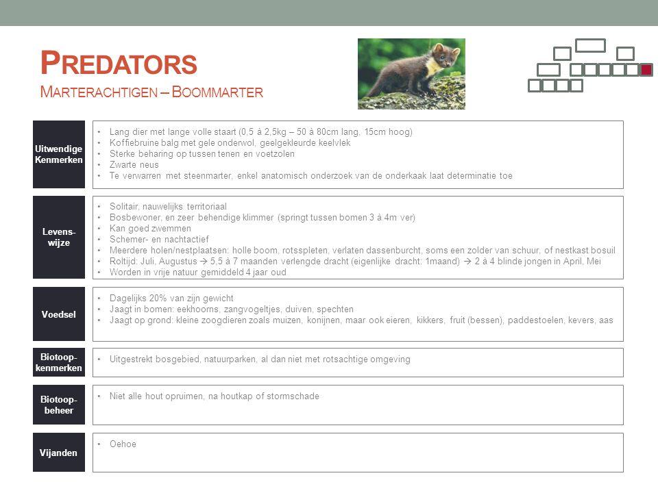 Predators Marterachtigen – Boommarter
