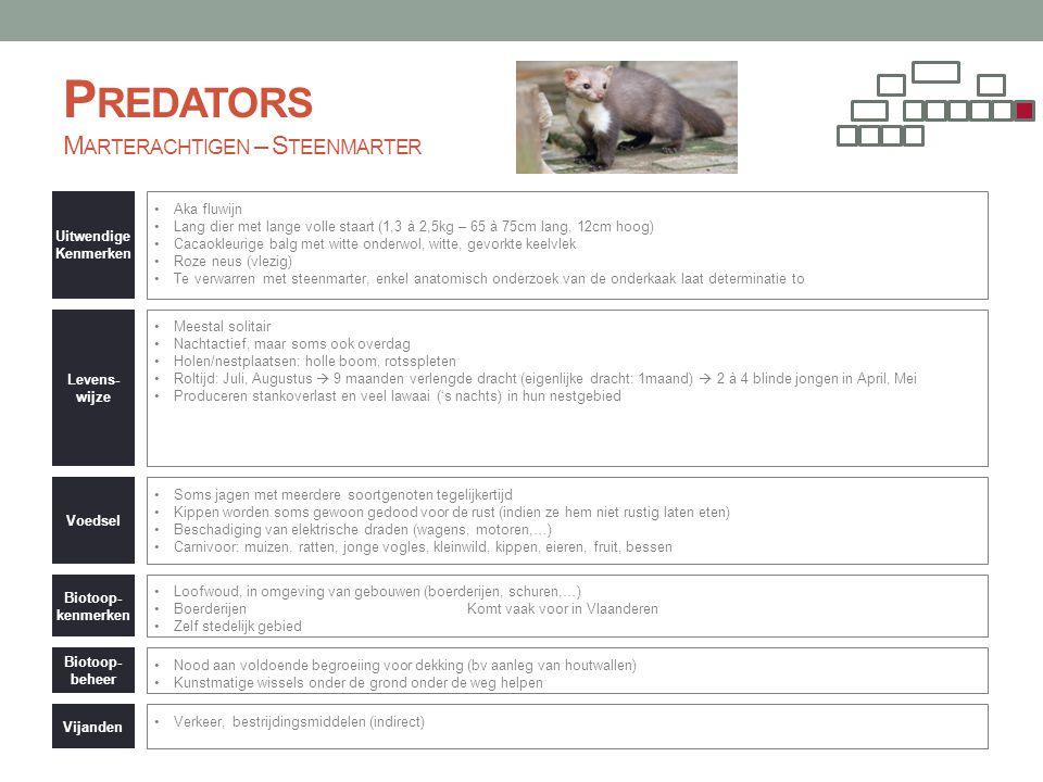 Predators Marterachtigen – Steenmarter