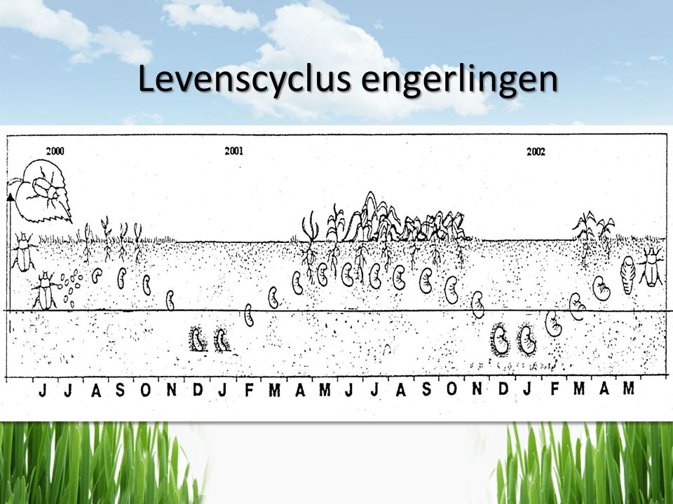 Levenscyclus engerlingen