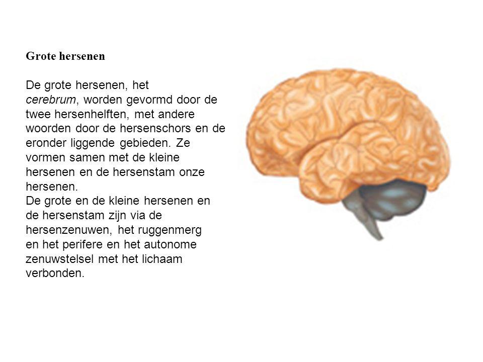 Grote hersenen