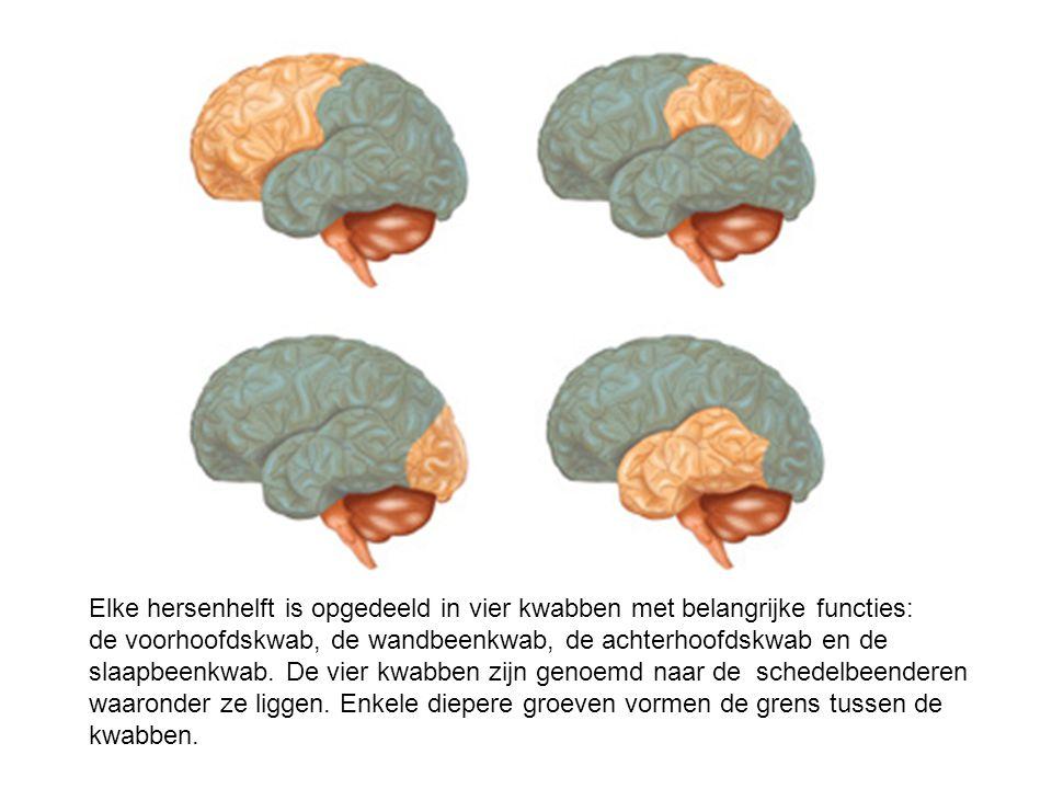 Elke hersenhelft is opgedeeld in vier kwabben met belangrijke functies: de voorhoofdskwab, de wandbeenkwab, de achterhoofdskwab en de slaapbeenkwab. De vier kwabben zijn genoemd naar de schedelbeenderen waaronder ze liggen.